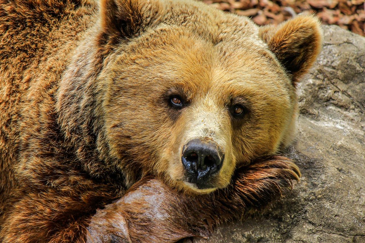Хронотип медведей