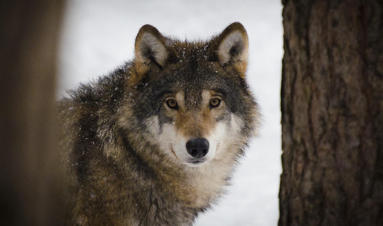 Хронотип волков