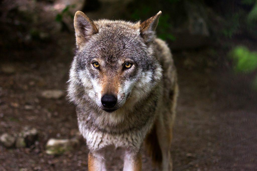 Волчья культура