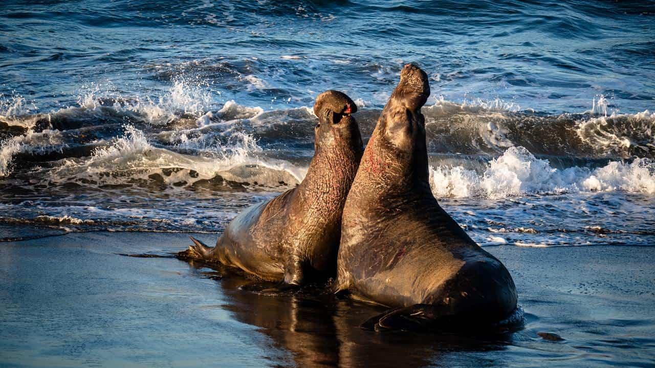 Самцы морских львов дерутся на берегу.