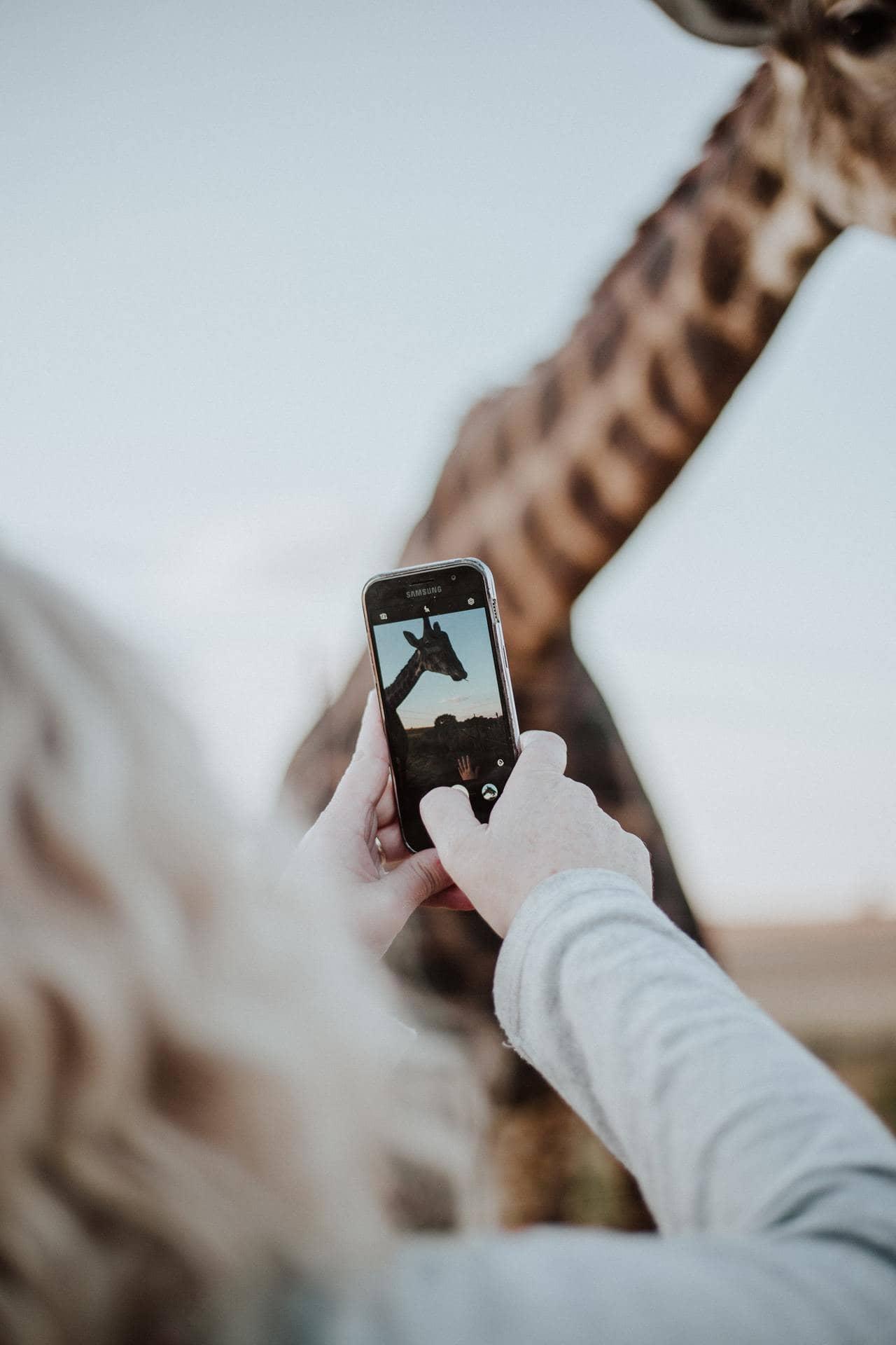 Женщина снимает жирафа на видео